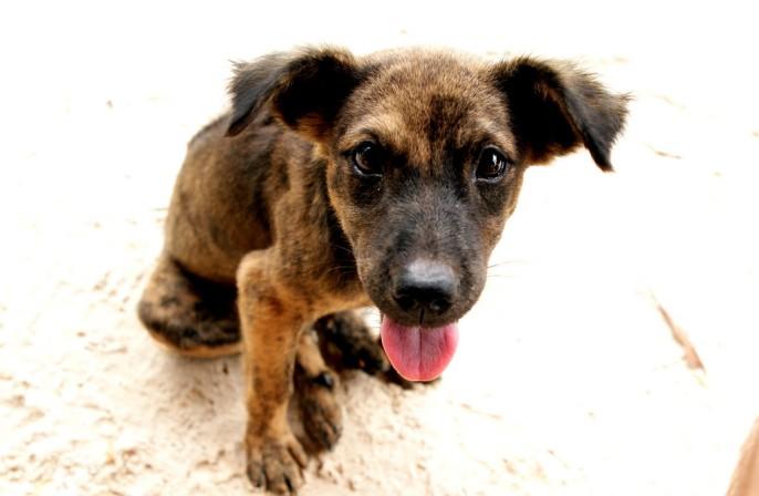 Фукуокский риджбек - собака с острова Фукуок