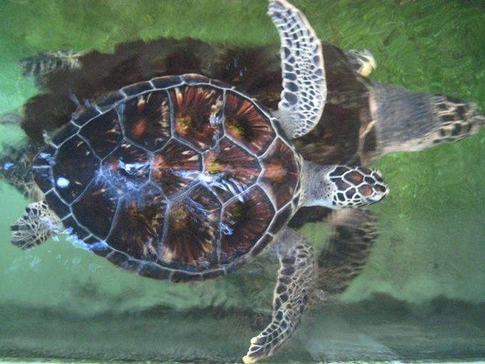 Черепахи в музее океанографии Нячанга